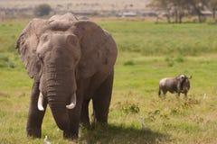 Aggressiv elefant Royaltyfria Bilder
