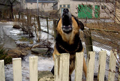 aggressiv hund Arkivfoto