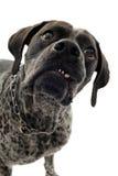 aggressiv hund Royaltyfri Bild
