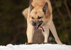 aggressiv hund Arkivfoton