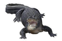 aggressiv krokodil Arkivfoton