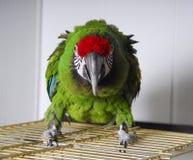 aggressiv ljus papegoja royaltyfri foto