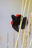 Aggressiv man Röd-påskyndad koltrast som fordrar hans territorium Royaltyfria Bilder