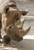 aggressiv svart noshörning Arkivfoto