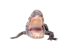 Aggressive alligator Royalty Free Stock Image
