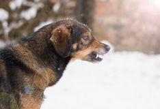 Aggressive, angry dog. Barking enraged angry dog outdoors. The dog looks aggressive, dangerous and may be infected by rabies. Angry dog in the snow. Furious dog Stock Image