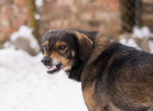 Aggressive, angry dog. Barking enraged angry dog outdoors. The dog looks aggressive, dangerous and may be infected by rabies. Angry dog in the snow. Furious dog Stock Photo