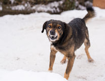 Aggressive, angry dog. Barking enraged angry dog outdoors. The dog looks aggressive, dangerous and may be infected by rabies. Angry dog in the snow. Furious dog Royalty Free Stock Images