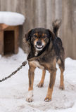 Aggressive, angry dog. Barking enraged angry dog outdoors. The dog looks aggressive, dangerous and may be infected by rabies. Angry dog in the snow. Furious dog Royalty Free Stock Photos
