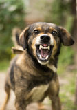 Aggressive, angry dog. Enraged aggressive, angry dog. Grin jaws with fangs , hungry, drool royalty free stock photo