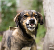 Aggressive, angry dog. Enraged aggressive, angry dog. Grin jaws with fangs , hungry, drool royalty free stock images