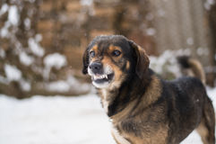 Aggressive, angry dog. Angry  dog shows teeth. Pets. Wicked aggressive dog. Angry dangerous  dog protection barking attacks. `best friend` , Enraged aggressive Royalty Free Stock Images