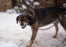 Aggressive, angry dog Royalty Free Stock Image