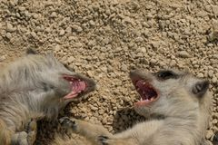 Aggressive angry meerkat children showing teeth. And fighting Stock Images