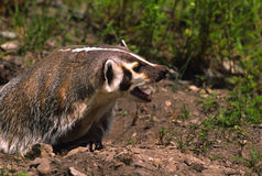 Aggressive Badger Stock Image