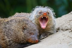Aggressive banded mongoose with open mouth showing its teeth Royalty Free Stock Photo