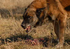 Aggressive belgian shepherd. Want have his toy for only for him Stock Photos