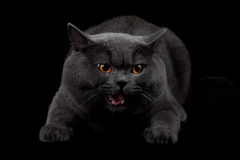 Aggressive black cat in dark room Royalty Free Stock Photos
