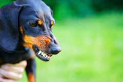 Aggressive black smooth-haired dachshund bared its teeth. Against green blurred nature background. Outdoors Royalty Free Stock Photography