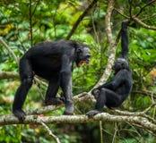 Aggressive Bonobo. Bonobos (Pan Paniscus) on a tree branch. The Swearing and Aggressive Bonobo ( Pan paniscus Royalty Free Stock Photos