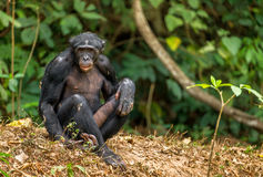 Aggressive Bonobo Royalty Free Stock Image