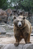 Aggressive brown bear is standing in the forest Royalty Free Stock Image