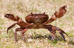Aggressive brown crab on grass standing Royalty Free Stock Photography
