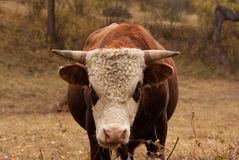 Aggressive bull. Watch at you and eat a hay Royalty Free Stock Image