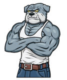 Aggressive Bulldogge des starken Muskels Stockfotos