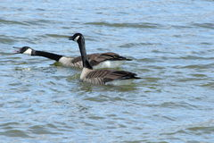 Aggressive Canada Geese. These are aggressive Canada Geese Stock Photography