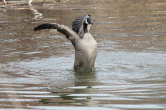 Aggressive Canada Goose. This is an aggressive Canada Goose swimming in the lake Stock Image