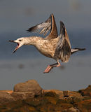 Aggressive Caspian Gull. The picture was taken form a hide in Hungary Stock Photos