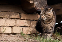 Aggressive cat Royalty Free Stock Photo