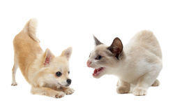 Aggressive cat and puppy chihuahua Stock Photos