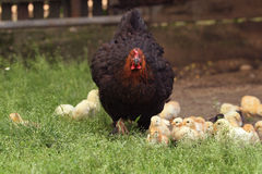 Aggressive clucking hen protecting chicks. On a farm Stock Images