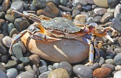 Aggressive crab. Against  sea pebble Stock Photos