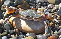 Aggressive crab. Ready to an attack Royalty Free Stock Photo