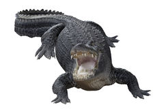 Aggressive Crocodile Stock Photos