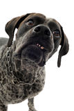 Aggressive dog Royalty Free Stock Image