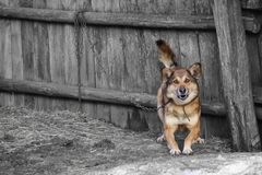 Aggressive dog barking on the chain and rushes to strangers. royalty free stock photo