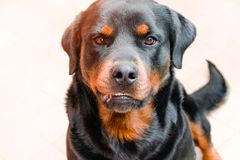 Aggressive dog, Labrador sunlit, rabies in animals royalty free stock photography