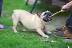 Free Aggressive Dog, Pulling On A Stick Stock Image - 127721701