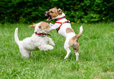 Aggressive dog threatens another dog with frightful fangs. Two dogs playing at park lawn stock image