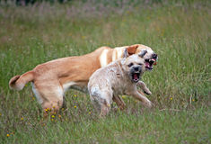 Aggressive dogs. Labrador retriever and border terrier play fighting with mouths open and teeth on show Royalty Free Stock Images