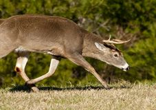 Aggressive dominant white tailed buck Royalty Free Stock Image