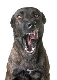 Aggressive dutch shepherd in studio Stock Photo