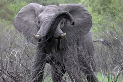 Aggressive elephant with a raised trunk looks at the camera Stock Images