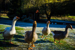 Aggressive geese Royalty Free Stock Photos