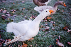 Aggressive geese Royalty Free Stock Photo