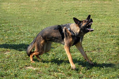 Aggressive german shepherd Royalty Free Stock Photography